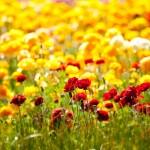Carlsbad-Flower-Fields3