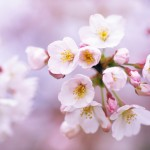 Holidays___International_Womens_Day_Cherry_flowers_on_March_8_057394_