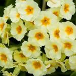 April flowers-primrose