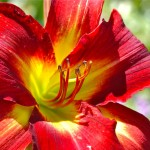 DSC_0544-Splendor-deep-red-lily-flower-garden-details-Ocean-Park-Oak-Bluffs-Marthas-Vineyard-Massachusetts-USA-940x612