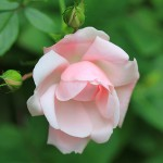 June-Birth-Flower-Rose