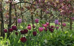 tulips_1630173c