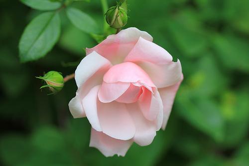 June-Birth-Flower-Rose