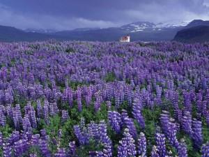 cvety-rasteniya-trava-veresk-2063